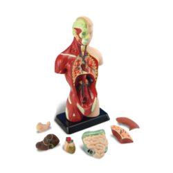 EDU-QI Science Human Anatomical Torso (Anatomy Model)